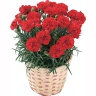 母の日 カーネーション鉢植え赤系5号 カゴ付