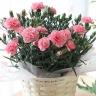 母の日 カーネーション鉢植えピンク5号 カゴ付