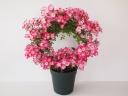 母の日に!つるバラ鉢植え リング仕立て 安曇野5号