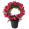 つるバラ鉢植え リング仕立て 須磨5号