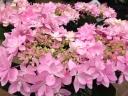 星咲アジサイ鉢植え ダンスパーティ ピンク5号