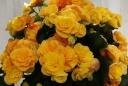 ベゴニア鉢植え バラ咲イエローストーン5号