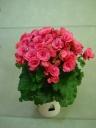 バラ咲ベゴニア鉢植え ピンクベルセバ5号 カゴ入