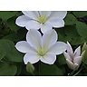 クレマチス鉢植え 白雪姫 6号