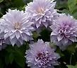 クレマチス鉢植え 薄紫ベル・オブ・ウォーキング6号