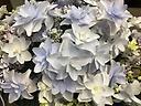 アジサイ鉢植え 八重ウェディングブーケ ブルー5号