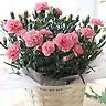 カーネーション ピンク花鉢 5号 カゴ入