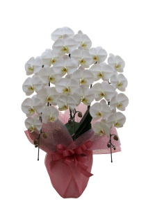 豪華胡蝶蘭白色3本立ち