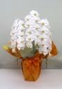 白い胡蝶蘭3本立ち<極み>
