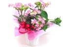 ☆数量限定☆【母の日】星咲きアジサイ(ピンク)☆