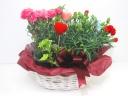 【母の日】カーネーションの寄せ鉢