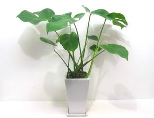 観葉植物【モンステラ】/お洒落な花器付き