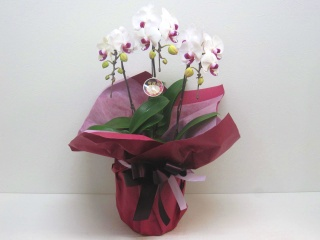 珍しい白赤色の素敵な胡蝶蘭