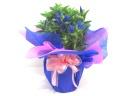 【敬老の日】大人気!!リンドウの花鉢(ブルー)