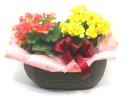 【敬老の日】リーガンベコニア2色MIXの寄せ鉢