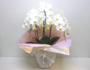 【供花】白い優美で上品な大輪胡蝶蘭(24輪以上)