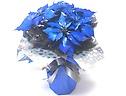 極めて希少な《青いポインセチア(シルバーラメ付)》