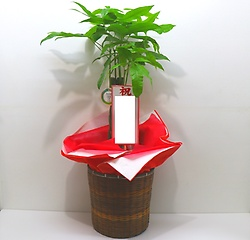 観葉植物【パキラ大】/オリジナルバスケット付き