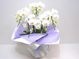 【供花】白い可憐で上品な胡蝶蘭(アマビリス)