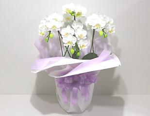 【供花】白い可憐で優美な胡蝶蘭(アマビリス)