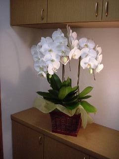 白3本立胡蝶蘭