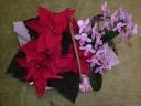 ミニ胡蝶蘭とポインセチアの寄せ鉢