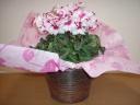 シクラメン(ヴィクトリア)の鉢