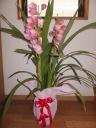 ピンクのシンピジューム(バレリーナ)