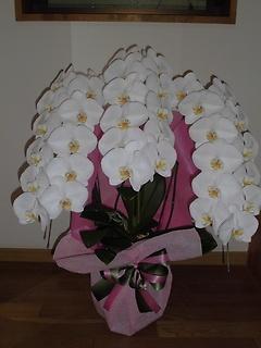 白胡蝶蘭の鉢