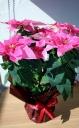 八重咲き鮮やかプリンセチア