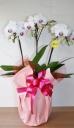 ピンク胡蝶蘭 ユミ3F