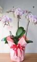 胡蝶蘭 サクラミディー