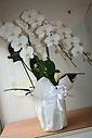 ホワイト胡蝶蘭