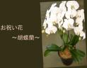 お祝いの花 胡蝶蘭 hjen 24F