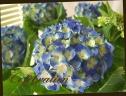 母の日の贈り物に♪ 紫陽花 『ハワイアンブルー』