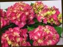 母の日の贈り物に♪ 紫陽花 『ハワイアンレッド』