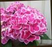 母の日の贈り物に♪ 紫陽花 『ファーストレディ』