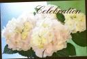 母の日の贈り物に♪ 紫陽花 『ジューンブライド』