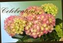 母の日の贈り物に♪ 紫陽花 『クリスタル』