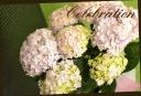 母の日の贈り物に♪ 紫陽花 『テマリテマリ』