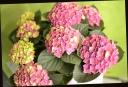 お母さんへ贈る 紫陽花.『ノブレス』