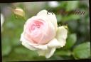 お母さんへ贈る バラの花鉢