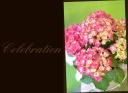 母の日に 紫陽花 『シティーラインパリ』