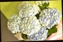 母の日お勧め 紫陽花『マジカルレボリューション』