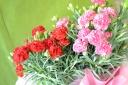 母の日の贈り物に カーネーションの花鉢