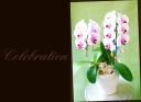 母の日の贈り物に 胡蝶蘭『サクラヒメ』2本立ちA