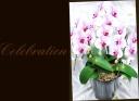 母の日の贈り物に 胡蝶蘭『サクラヒメ』3本立ち