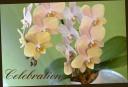 母の日の贈り物に 胡蝶蘭『マザーチーク』