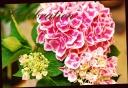 母の日の贈り物に♪ 紫陽花 『ちぼりピンク』