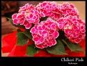 お母さんへ 「紫陽花:ちぼりピンク」